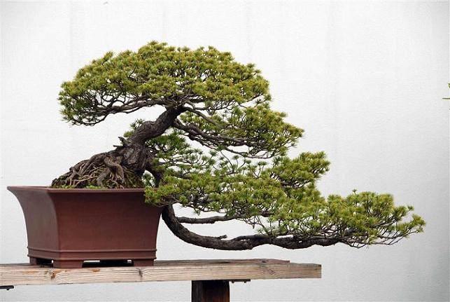 松树盆景的短针方法【图】