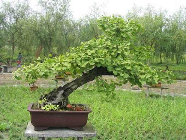上海植物园将国宝银杏做成盆景