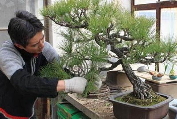 铝丝对枝条的盆景生长有无影响?【图】