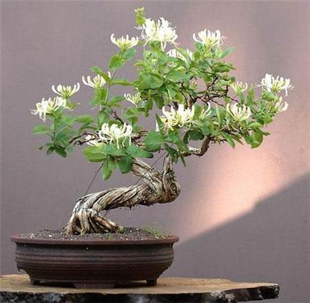 请问栽培制作金银花盆景有什么技术要求?