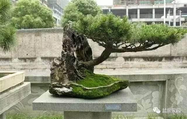 自然大树型盆景的配盆与造型要领