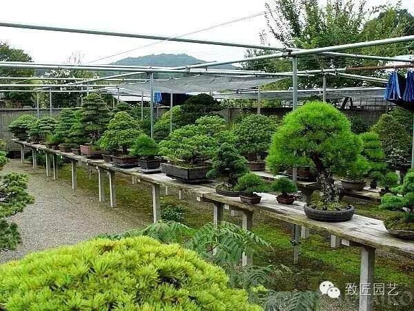 看一对日本老年夫妻的盆景生活!