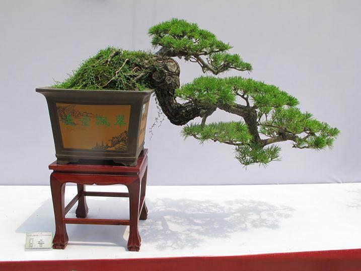 1970年广州盆景协会举办第一届岭南盆景展
