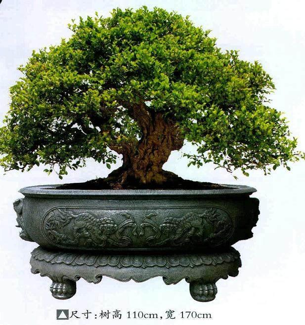 厦门柯成昆先生好盆景二十余载,创作、把玩榕树盆景甚多