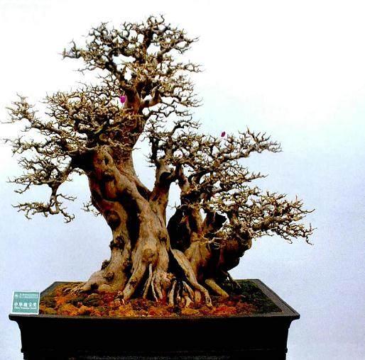 今年四月在扬州举办的国际盆景大会