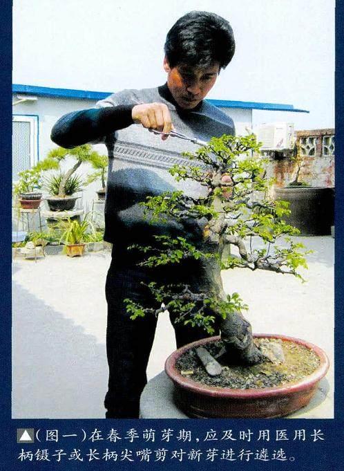 培育榆树盆景要注意6个事项