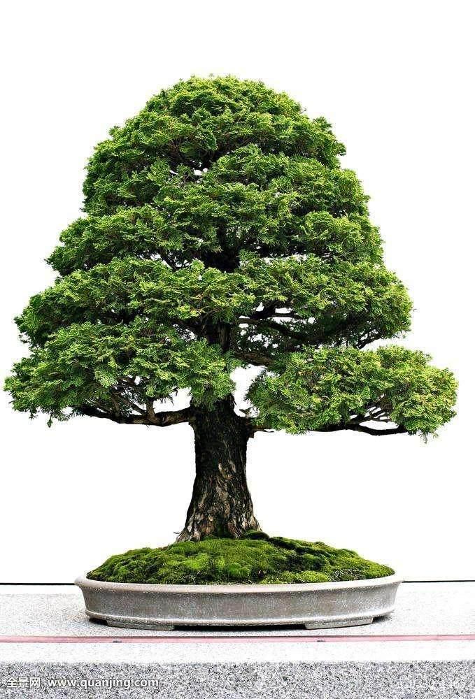 虽然盆景(bonsai)是日本的艺术 但它起源于中国