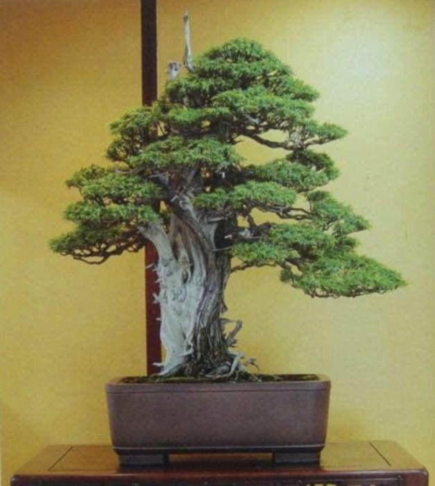 日本高松市以松树盆景为主 超过8成