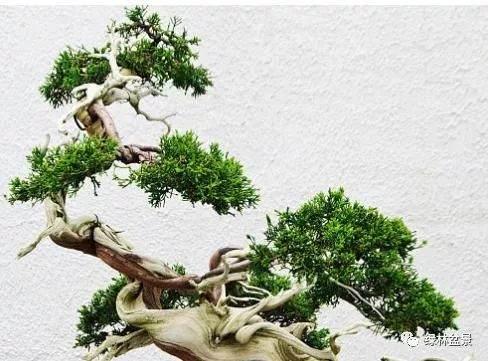 我爷爷用了这方法 盆景枝干快速增粗 立刻变老桩!