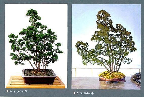 赵庆泉将多干文人树盆景的个性都发挥得淋漓尽致