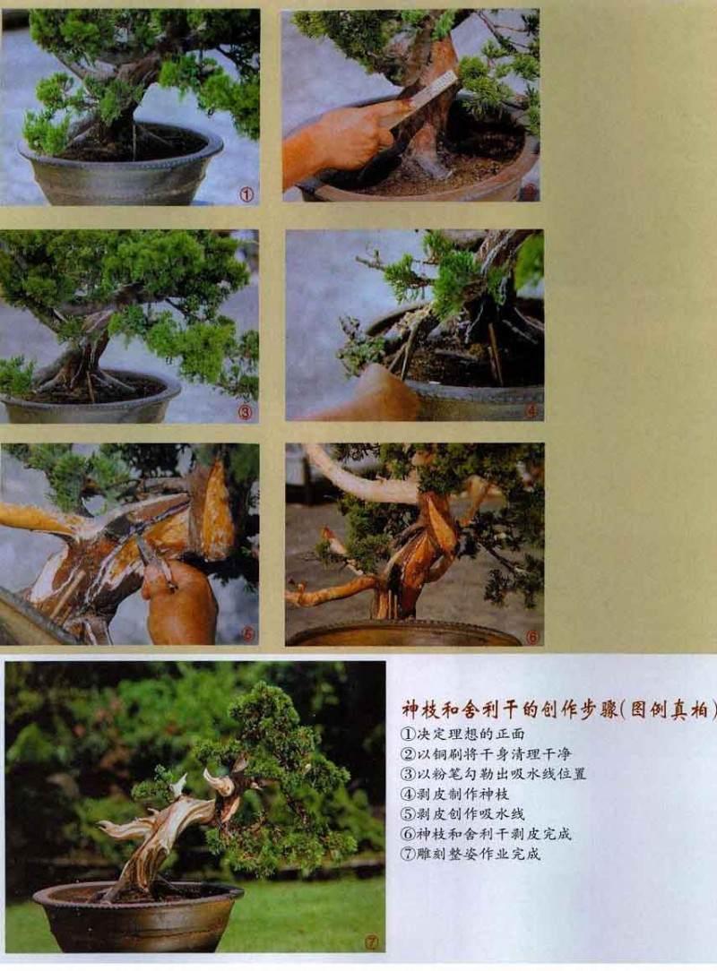 利用神枝或舍利干来强调盆景古木的表现