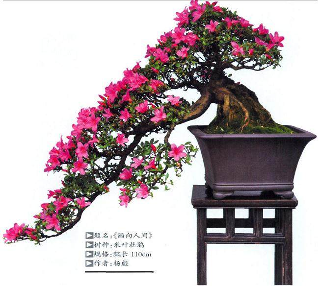 杨彪先生制作的米叶杜鹃盆景作品《洒向人间》