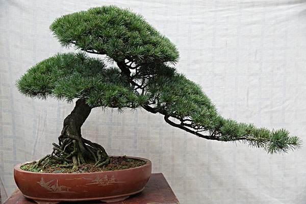 如何看待私家盆景园从日本引进的商品化金叶五针松?