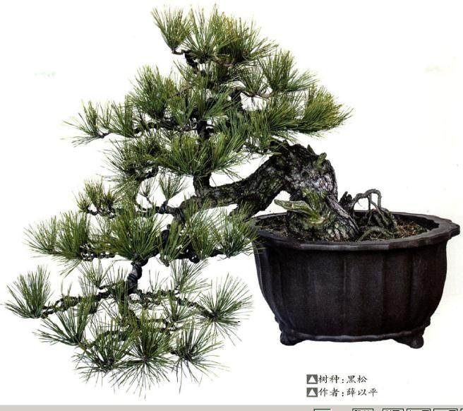 黑松盆景的选材及栽培管理