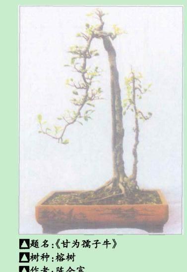 榕树双干公孙树型盆景的制作方法