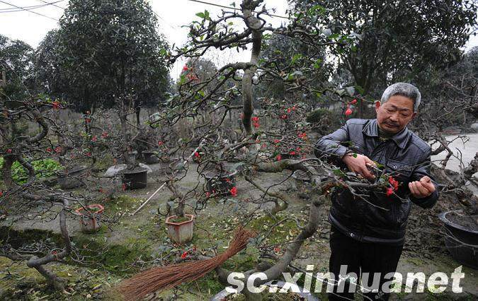安龙镇上 一位老盆景技师在修剪海棠盆景
