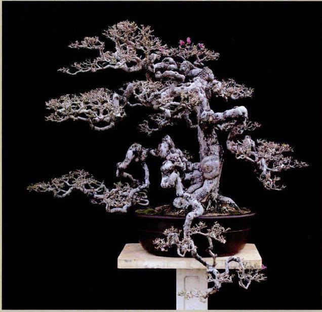 笔者用榕树盆景为例来说明盆景制作的流程