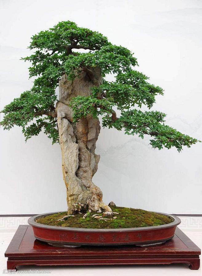 榆树盆景的整理树枝与整修上盆