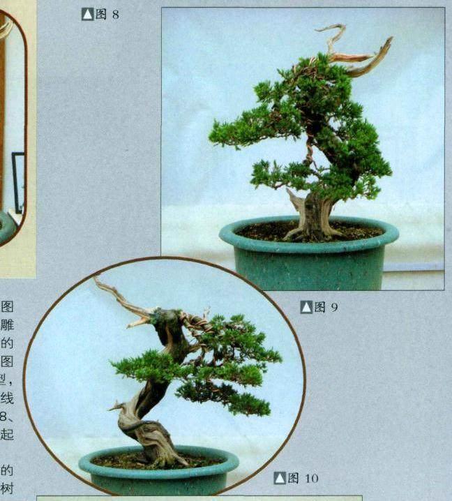 史佩元演示台湾真柏盆景的制作过程
