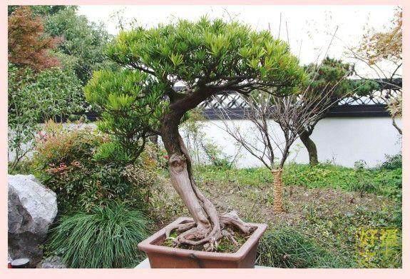 BCI国际盆景大师作品展览将于4月27日在上海植物园举办