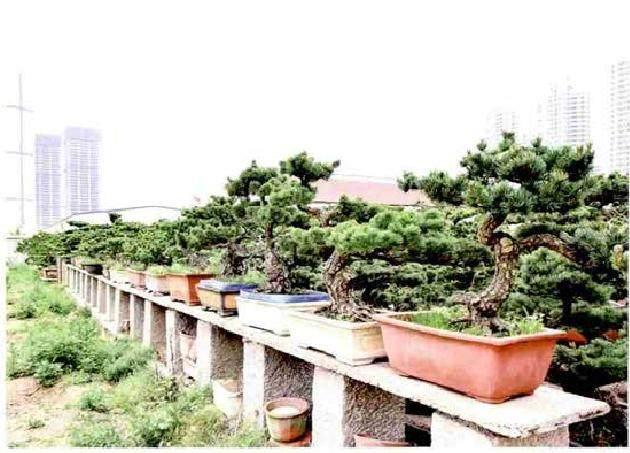 山东日照有个大阪松盆景园 盆景数量达几万株