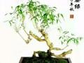 根茎竹盆景的病虫害防治