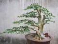 珍珠黄杨盆景出现脱叶 枯枝 烂根后的处理方法