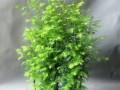 水杉盆景怎么生根发芽的养殖方法