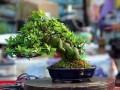 栀子花盆景的酸土培养与适当修剪