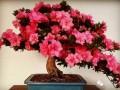 杜鹃盆景生长环境和植物文化