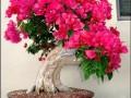 珍珠梅盆景的盆土怎么发芽扦插