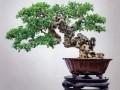 榕树盆景产业化发展的有利条件