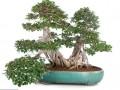 榕树盆景产业化发展的对策建议