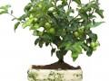 怎么保证果树盆景坐果率的新技巧