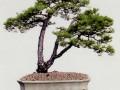 《删阳》是韩学年不同形态的动感山松盆景造型