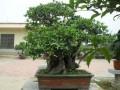 桂花盆景的换盆肥水与修剪
