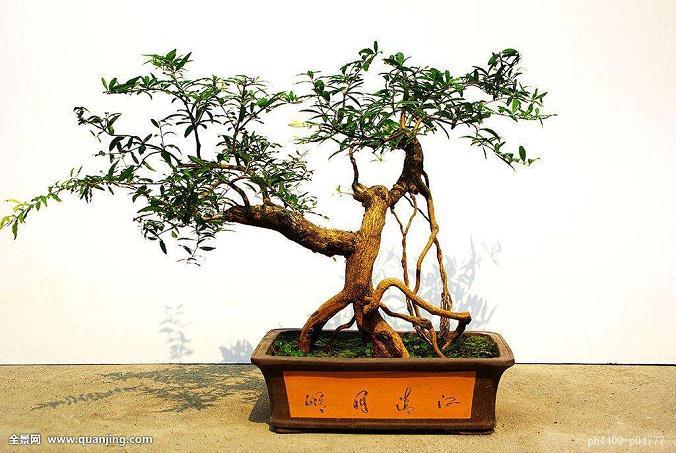 家庭制作中草药艺瓷盆景的好材料—峻炯羊齿天冬