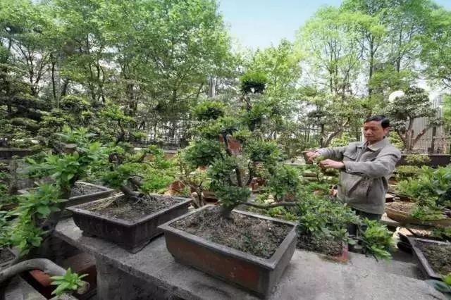 全国首批绿色村庄,人人习得盆景修剪之术