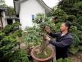 全国首批绿色村庄 人人习得盆景修剪之术