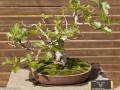 无花果盆景的发芽修剪整形 要用3个方法