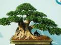 树木盆景有如下几种形式