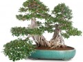榕树盆景在秋季的发芽培育与养护