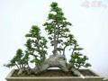 榆树盆景枝条要剪多短?