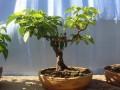 盆栽果树的养护要点