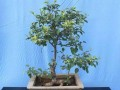 盆栽果树怎样进行整形修剪的2个方法