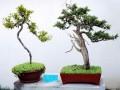 树桩盆景发芽后怎么浇水施肥的方法