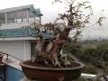 我无意间在朋友QQ空间看到一棵榆树的附石盆景