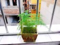花15元买了盆文竹盆景 看如何?