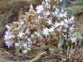 榔榆盆景什么时候会开花?