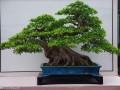冬季榕树盆景怎么养 如何发芽养护 图片